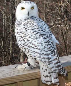 Tundra, a Snowy Owl