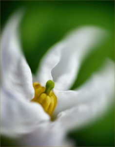 """Small white Flower"" by Bob Elliott"